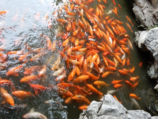 Fish being fed in the Yu Yuan garden